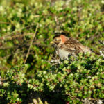 Fåglar jag fotat – lappsparv