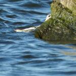 Fåglar jag fotat – brednäbbad simsnäppa