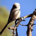 Fåglar jag fotat – stjärtmes