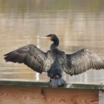 Fåglar jag fotat – storskarv