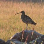 Fåglar jag fotat – storspov